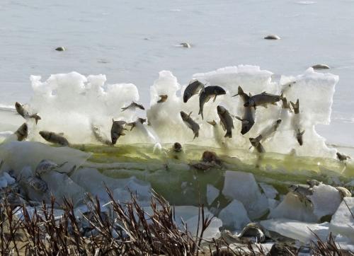 """奇观!鱼儿被冰封在""""空中""""(组图)"""