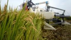 害虫恐致中国粮食减产下半年通货膨胀高企(图)