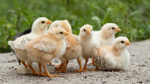 """首创""""不杀生""""鸡蛋避免亿万小公鸡遭灭(图)"""