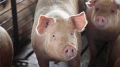 中国非洲猪瘟冲击食物链与物价波及全球经济(图)