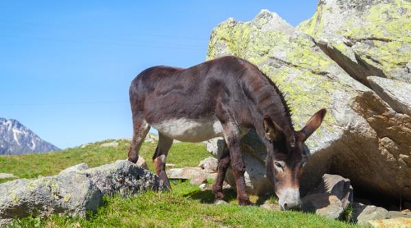 世上最小的驴仅60厘米高比山羊还矮小(视频)