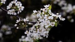 【天雪】天仙子?白香清明祭(图)