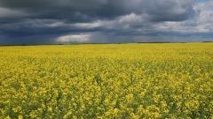 """与中国的""""油菜籽争端""""给加拿大上了一课(图)"""