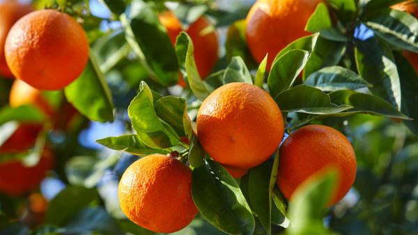 橙黄色的水果大多富含类胡萝卜素,经常食用,罹患乳腺癌的风险就越小。