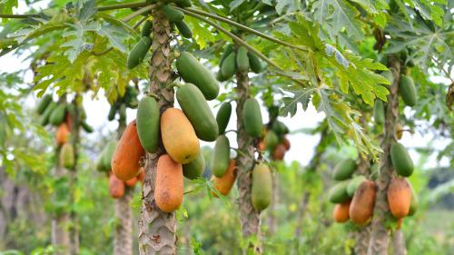 木瓜可以生吃,也可作为蔬菜和肉类一起炖煮。