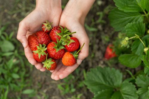 香味沁人心脾的草莓,特�e�m宜春季<a href=http://www.secretchina.com/news/b5/tag/�B生 alt= '�B生' target='_blank'>�B生</a>食用。