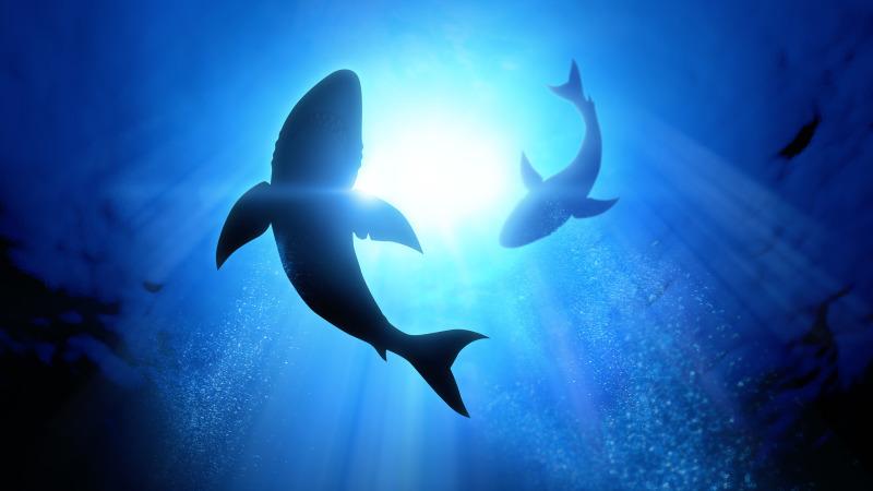 世界最巨大大白鯊,活到50歲因懂得避開人類。