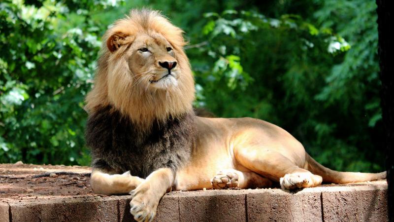 万兽之王-狮子