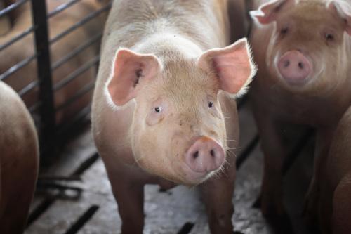 台湾研发非洲猪瘟快筛 亚洲第一获国际认可(图)