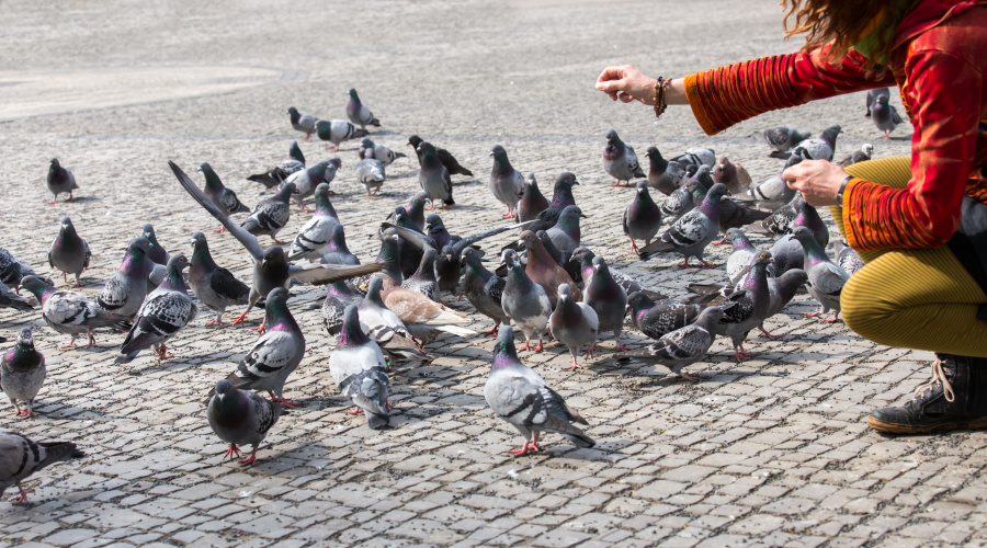 意大利:喂鸽子是违法的。