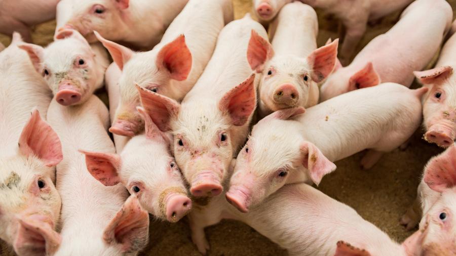 养猪非养马,要同槽而饲。