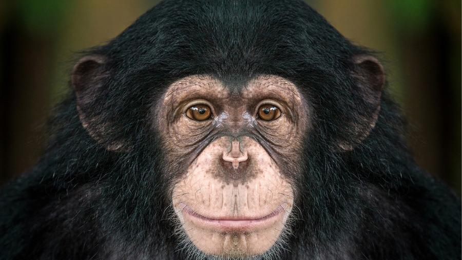 黑猩猩(学名:Pan troglodytes)是黑猩猩属下的两个物种之一,但他们两是不同的,黑猩猩的体型比大猩猩小。