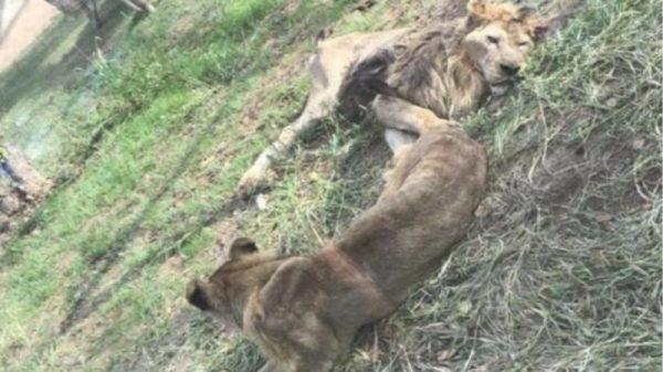 辽宁一家动物园疑因肉太贵而把狮子饿得瘦骨嶙峋
