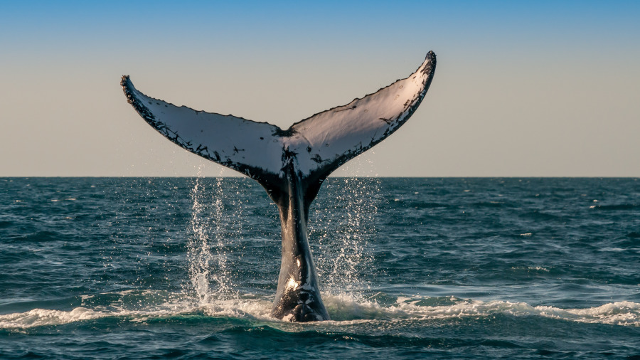 """鲸鱼张大嘴狂吃结果""""不小心吞了潜水员,""""!"""